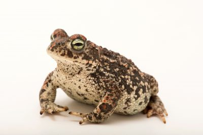 Photo: Natterjack toad (Bufo calamita) at Fluvi‡rio in Mora, Portugal.