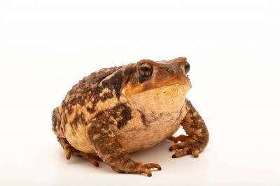 Spiny toad (Bufo spinosus) at Fluviario in Mora, Portugal, collected in Alto Alentejo
