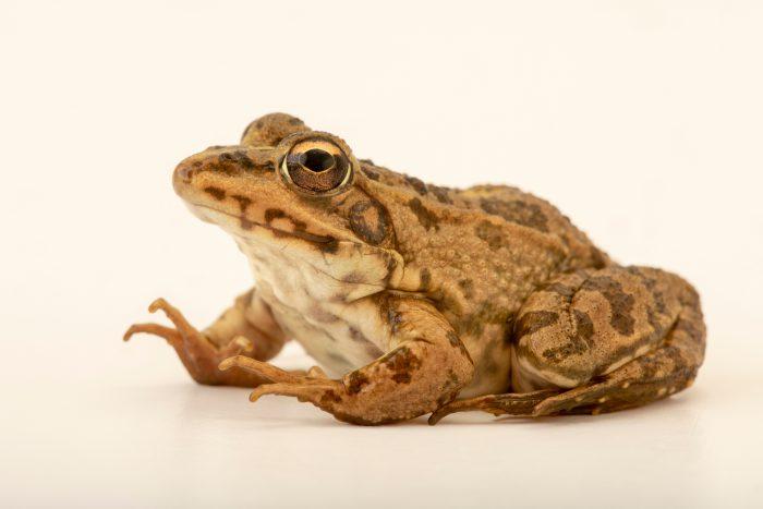 Photo: Perez's frog (Pelophyllax perezi) at Graham's Quinta dos Malvedos Vineyard.