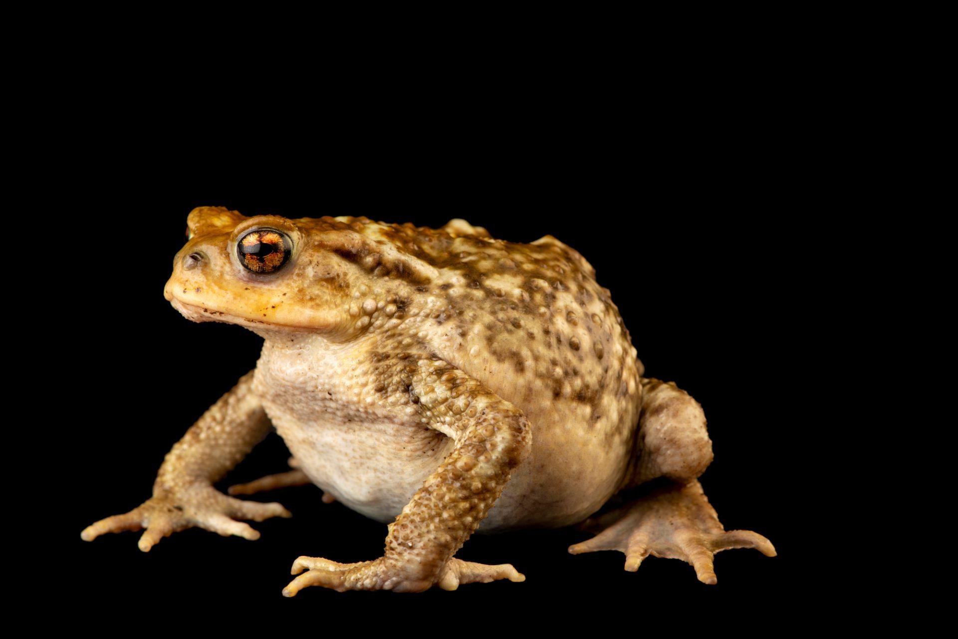 Photo: Spiny toad (Bufo spinosus) at the Environmental Education Center of the Ribeiras de Gaia.