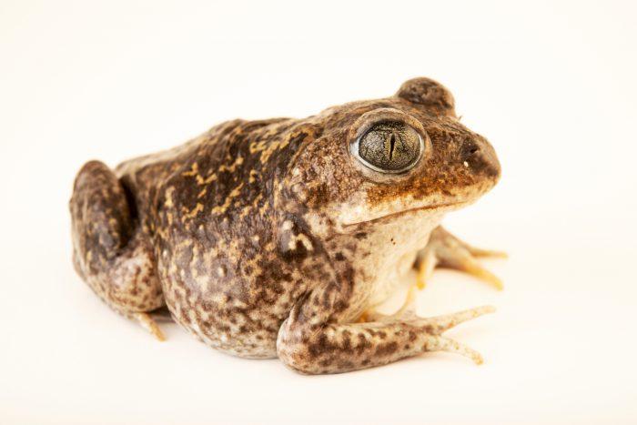 Photo: Iberian spadefoot toad (Pelobates cultripes) at the Environmental Education Center of the Ribeiras de Gaia.