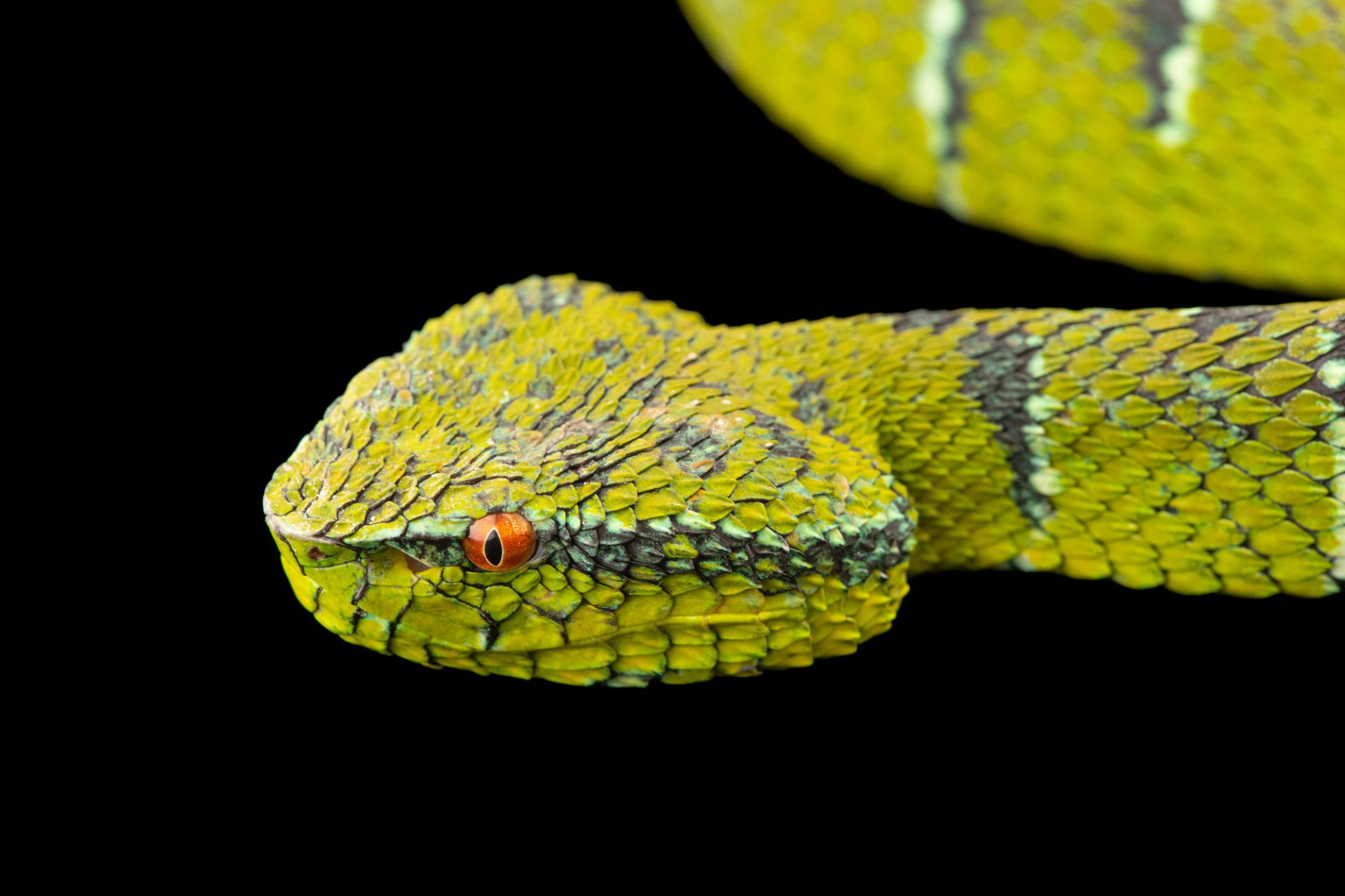 Photo: South temple pit viper (Tropidolaemus philippensis) at Davao Crocodile Park.