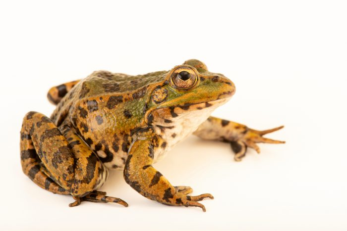 Photo: Perez's frog or Iberian waterfrog (Pelophylax perezi) at the Environmental Education Center of the Ribeiras de Gaia