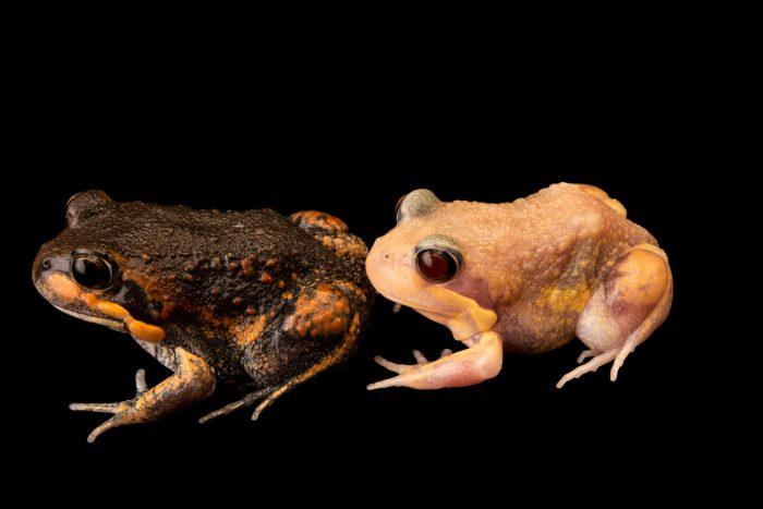 Photo: Pobblebonk frogs (Limnodynastes dumerilii) from the Melbourne Museum