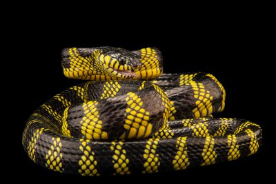 Photo: Mangrove snake (Boiga dendrophila latifasciata) at Davao Crocodile Park.