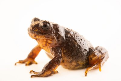 Photo: Female Baw Baw frog (Philoria frosti) at the Melbourne Zoo. This frog critically-endangered.