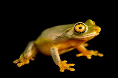 Photo: Dainty tree frog (Litoria gracilenta) at Melbourne Zoo