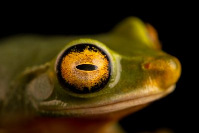 Photo: Dainty tree frog (Litoria gracilenta) at Melbourne Zoo