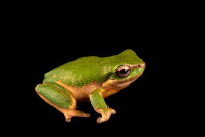 Photo: Eastern dwarf tree frog (Litoria fallaxs) at Melbourne Zoo