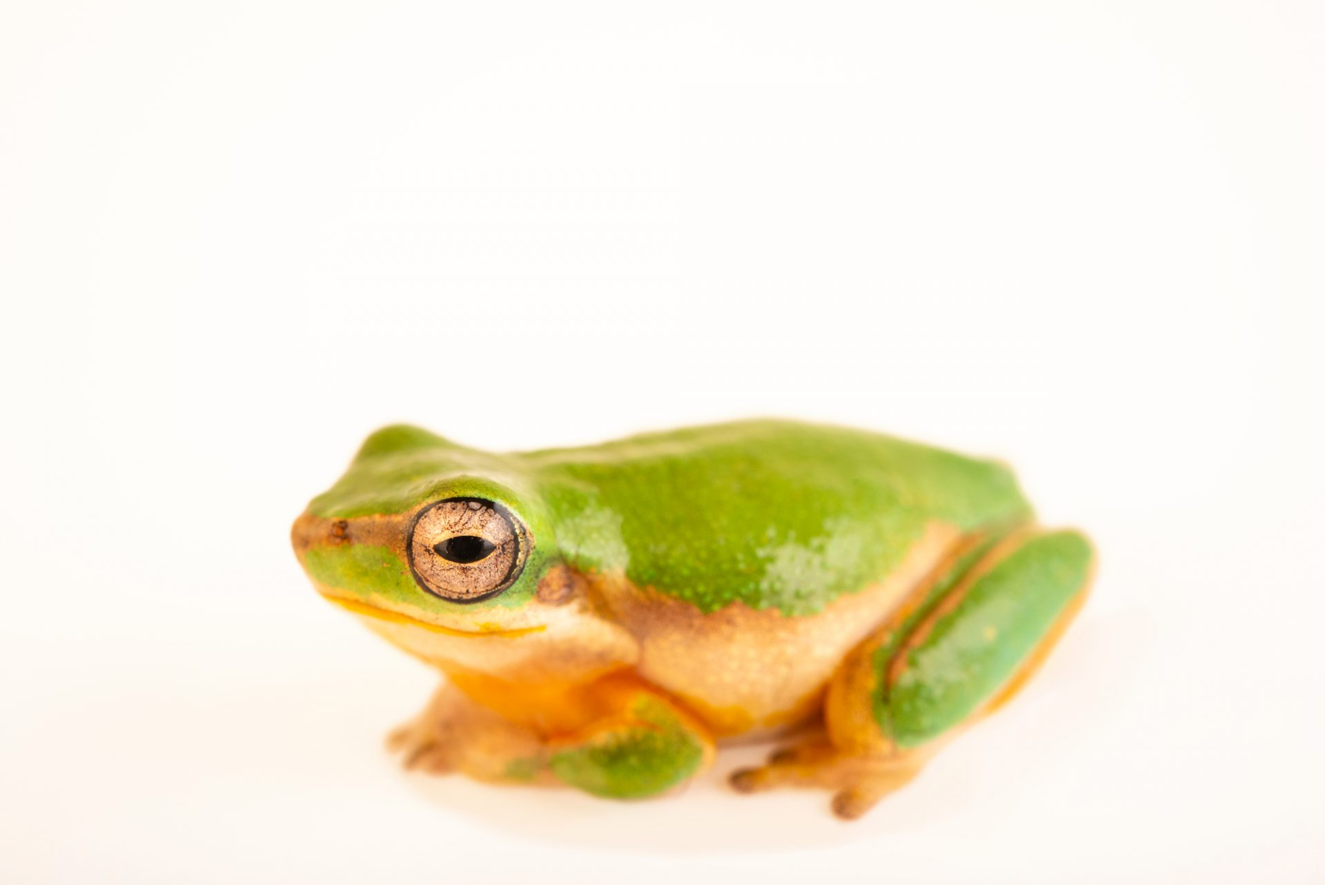 Photo: Eastern dwarf tree frog (Litoria fallaxs) at Melbourne Zoo