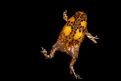 Photo: Crucifix Toad (Notaden bennettii) at the Melbourne Zoo