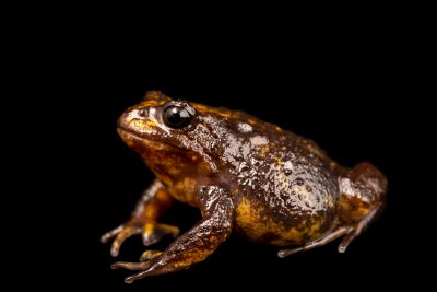 Photo: Male Baw Baw frog (Philoria frosti) at the Melbourne Zoo. This frog critically-endangered.