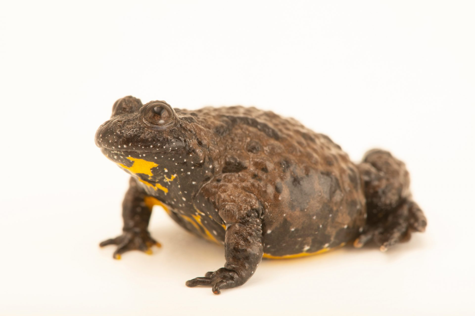 Photo: European yellow-bellied toad (Bombina variegata) at the Moscow Zoo.