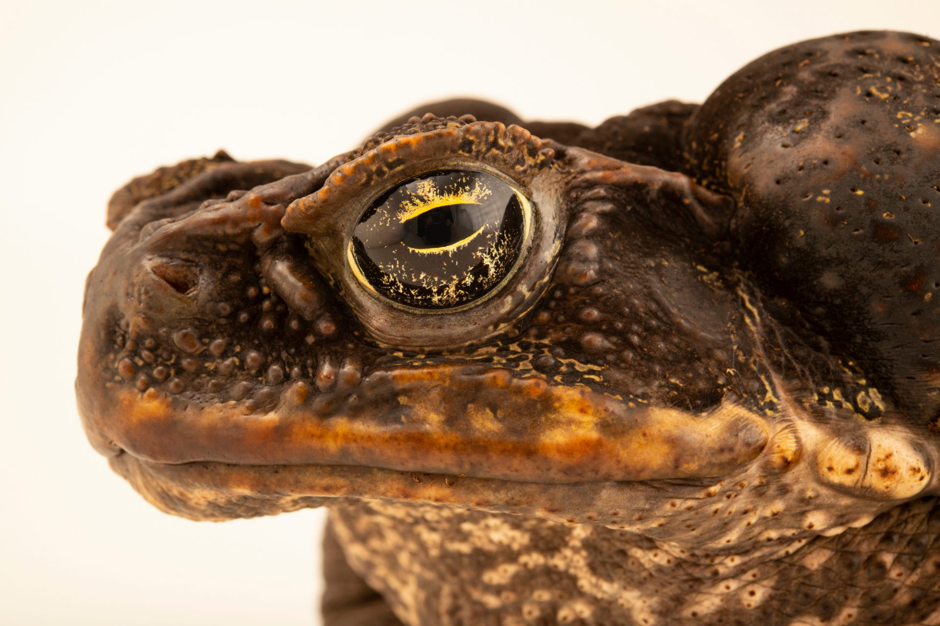 Photo: Cane toad (Rhinella marina) at the Moscow Zoo.