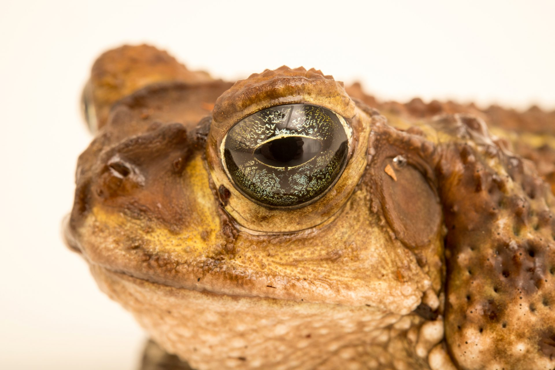 Photo: Cuban crested toad (Peltophryne peltocephala) at the Moscow Zoo.