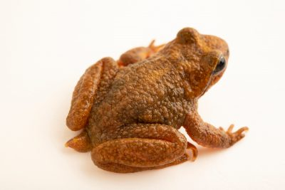 Photo: Rocky mountain tailed frog (Ascaphus montanus) in Boise, Idaho