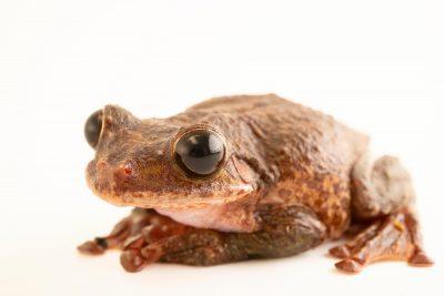 Fringe-limbed treefrog (Ecnomiohyla sp.) in Boise, Idaho