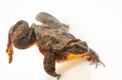 Photo: Romeo, a ten-year-old Sehuencas water frog (Telmatobius yuracare) at Museo d'Orbigny, a natural history museum and rare amphibian breeding center in Chocabamba Bolivia.