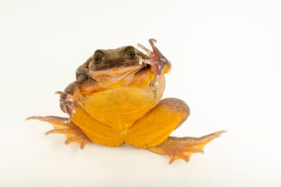 Photo: Juliet, a Sehuencas water frog (Telmatobius yuracare) at Museo d'Orbigny, a natural history museum and rare amphibian breeding center in Chocabamba Bolivia.