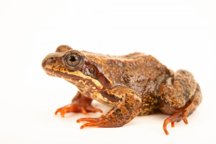 Photo: European common frog (Rana temporaria) at the Moscow Zoo.