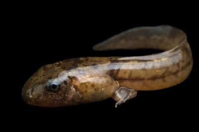Photo: Night frog tadpole (Astylosternus sp.) from the wild in Cameroon.
