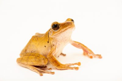 Photo: A Hong Kong whipping frog (Polypedates megacephalus) from the wild in Cambodia.