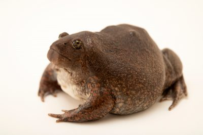 Photo: A true burrowing frog (Glyphoglossus molossus) at Angkor Centre for Conservation of Biodiversity (ACCB) in Cambodia.