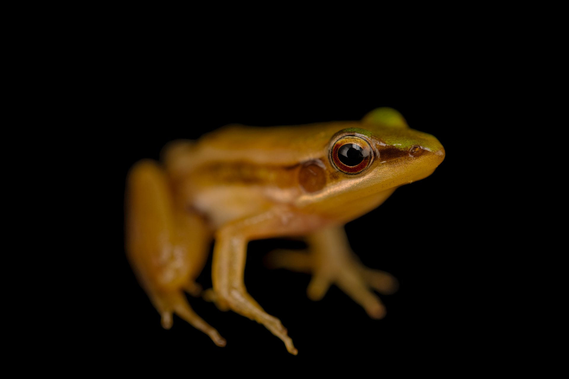 Photo: A Guangdong frog (Hylarana macrodactyla) from the wild in Cambodia.