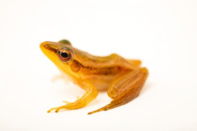 Photo: A Guangdong frog (Hylarana macrodactyla) caught in the wild in Cambodia.