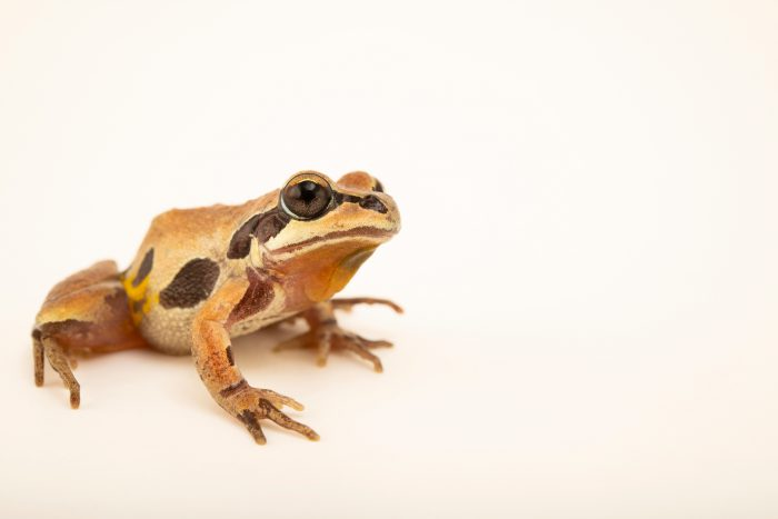 Photo: A ornate chorus frog (Pseudacris ornata) at the Auburn University Natural History Museum.