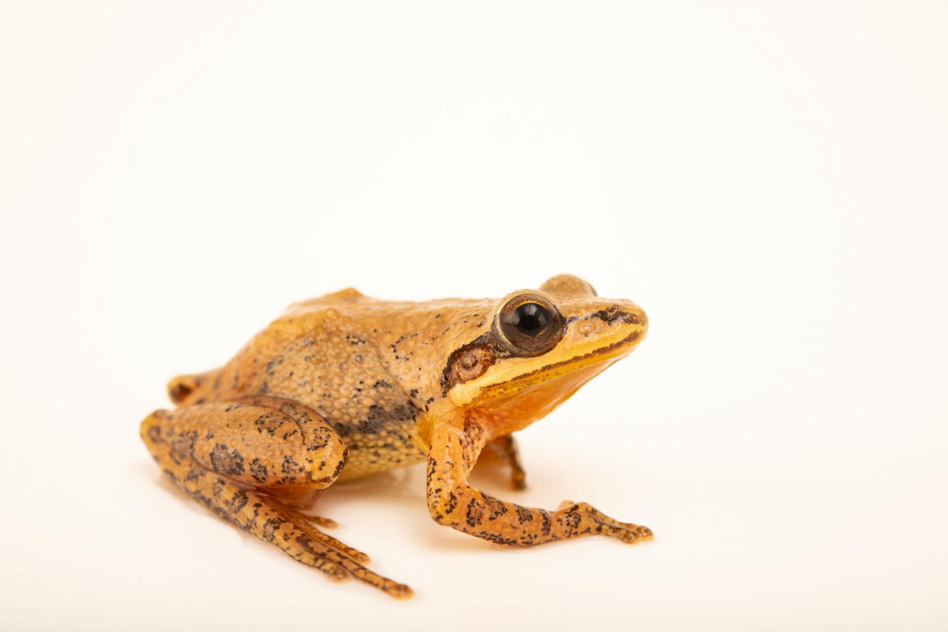 Photo: An upland chorus frog (Pseudacris feriarum) at the Auburn University Natural History Museum.