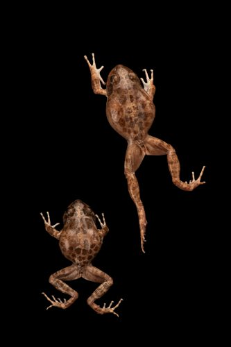 Photo: Balcones barking frog (Craugastor augusti latrans) from the private collection in San Antonio.