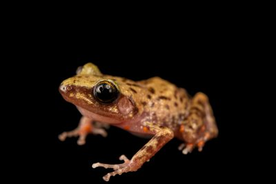 Photo: Cliff chirping frog (Eleutherodactylus marnockii) from the private collection in San Antonio.