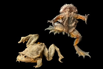 Photo: A pair of critically endangered Titicaca water frogs (Telmatobius culeus) at Museo d'Orbigny in Cochabamba Bolivia.