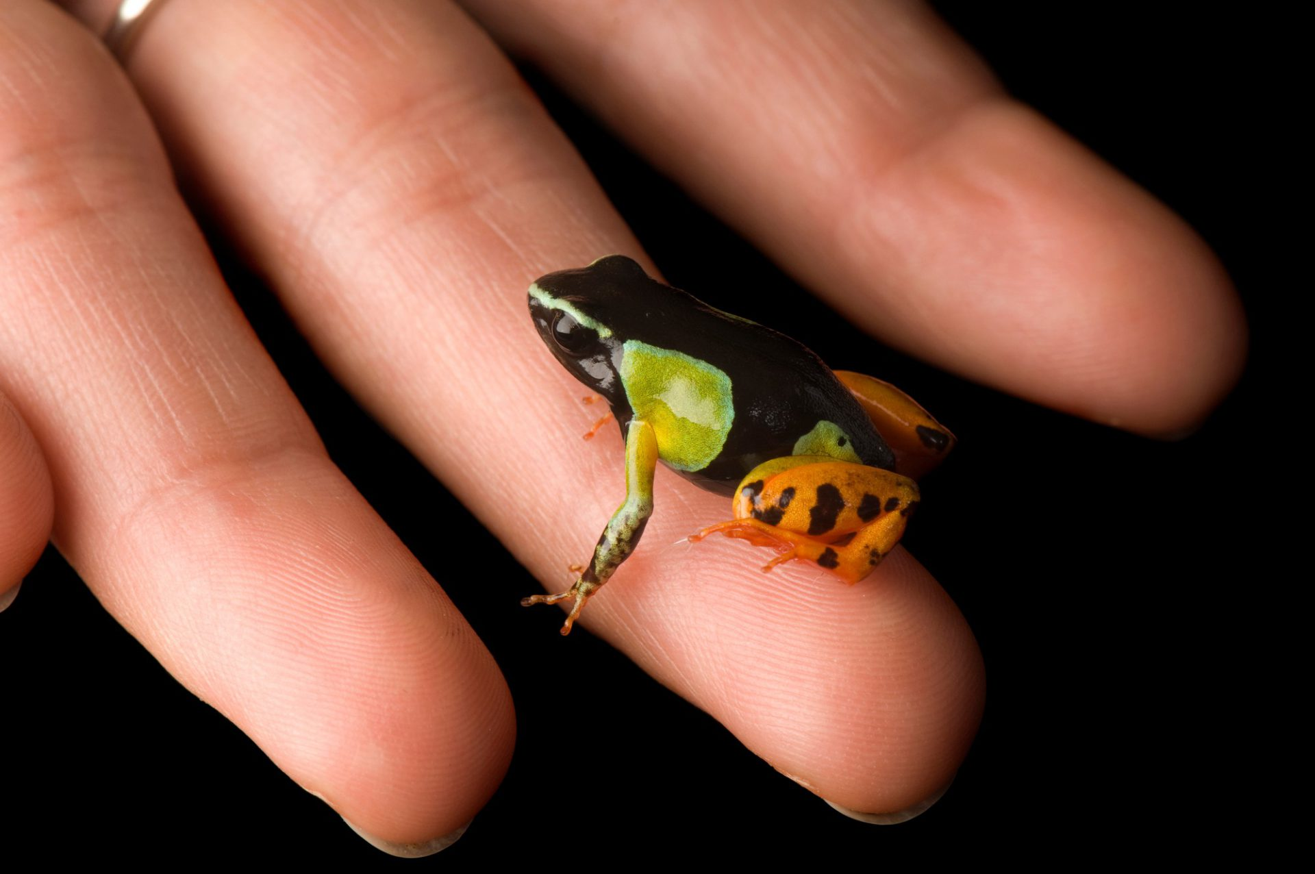 Photo: A vulnerable (IUCN) Madagascar painted frog (Mantella madagascariensis) from a private collection.