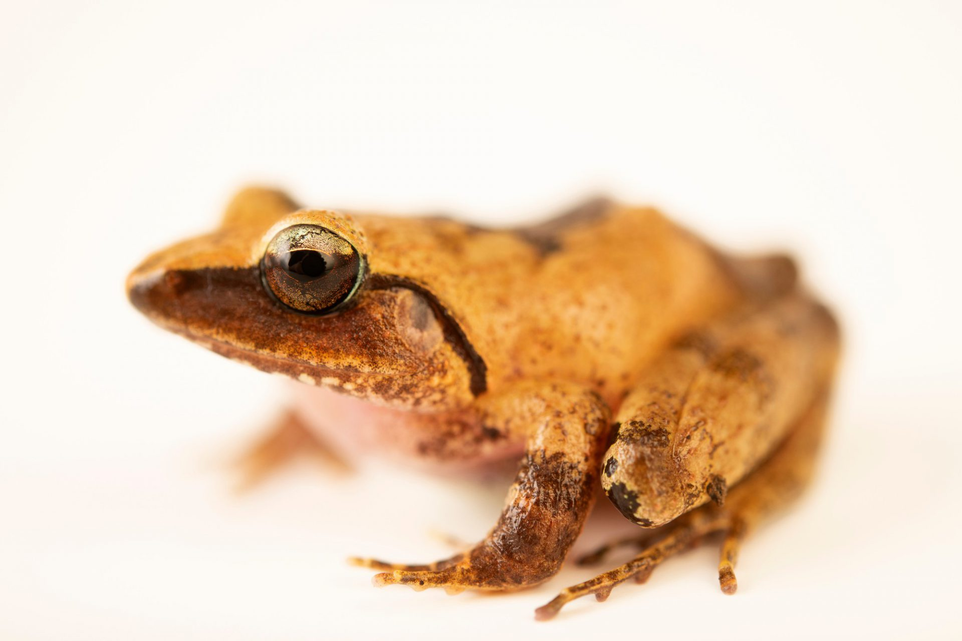 Photo: A masked wrinkled ground frog (Platymantis corrugatus) at the University of the Philippines.