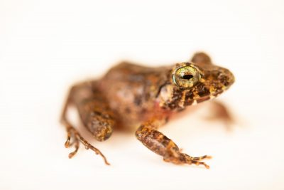 Photo: A husky-voiced wrinkled ground frog (Platymantis mimulus) at the University of the Philippines.