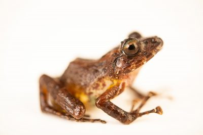 Photo: A luzon horned tree frog (Platymantis luzonensis) at the University of the Philippines.