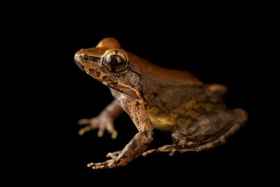 Photo: A WoodworthÕs frog (Limnonectes woodworthi) at the University of the Philippines.