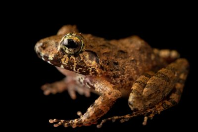 Photo: A DumerilÕs wrinkled ground frog (Platymantis dorsalis) at the University of the Philippines.