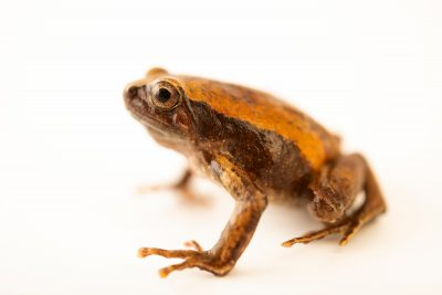 Photo: A Philippine narrowmouth toad (Kaloula conjuncta) at the University of the Philippines.