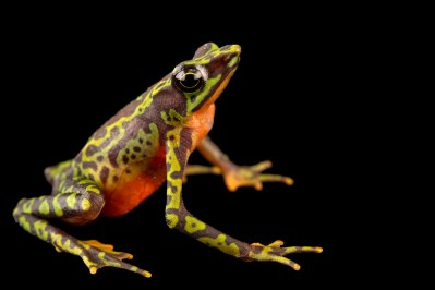 Photo: A critically endangered webbed harlequin frog (Atelopus palmatus) at Centro Jambatu.