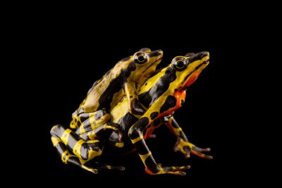 Photo: Two critically endangered Limon harlequin frogs (Atelopus sp. spumarius complex) in amplexus at Centro Jambatu in Quito, Ecuador.