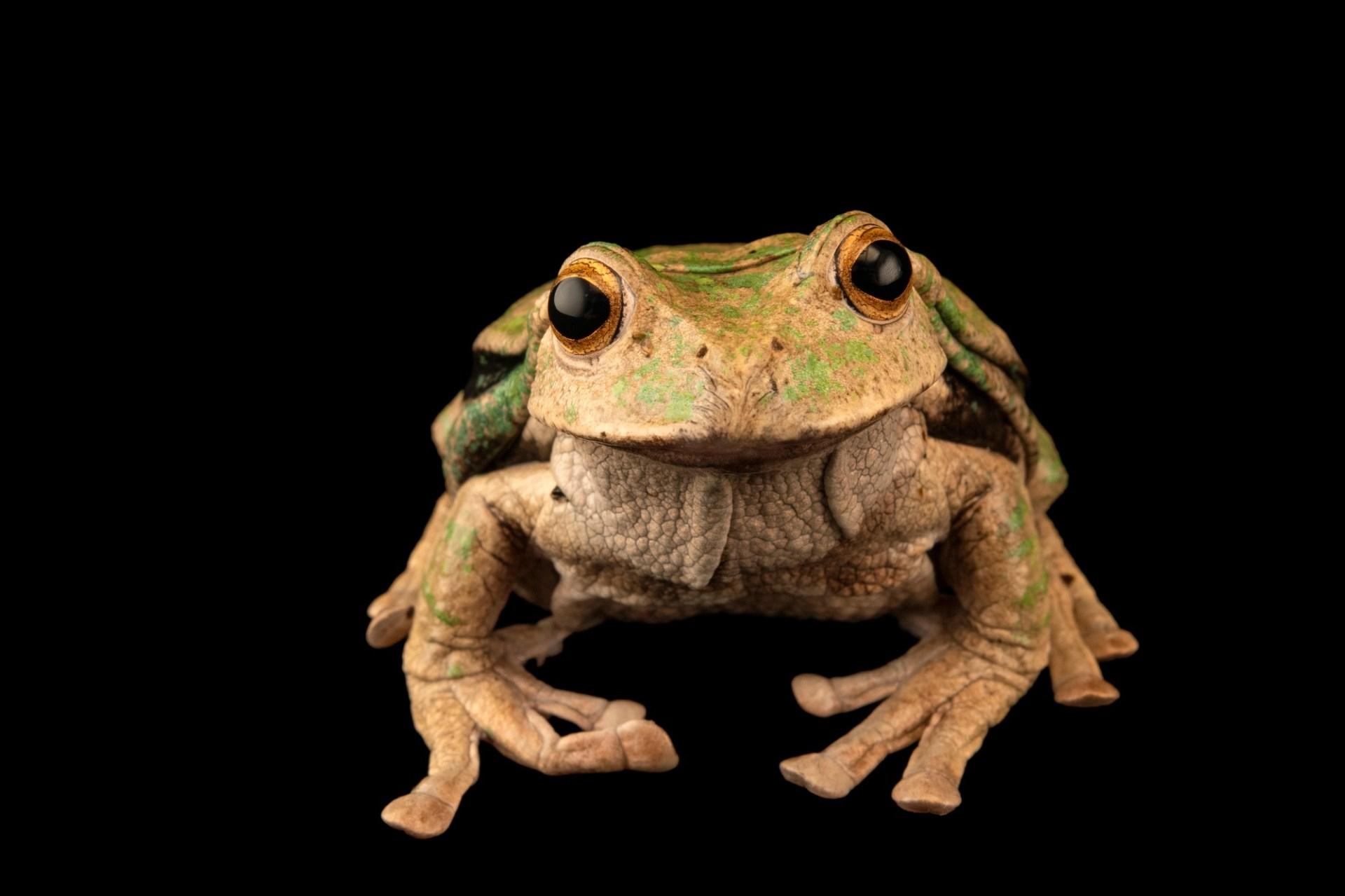 Photo: A male turtle carapaced marsupial frog (Gastrotheca testudinea) at Centro Jambatu.