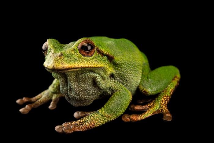 Photo: Plumbeate marsupial frog (Gastrotheca plumbea) at Centro Jambatu.