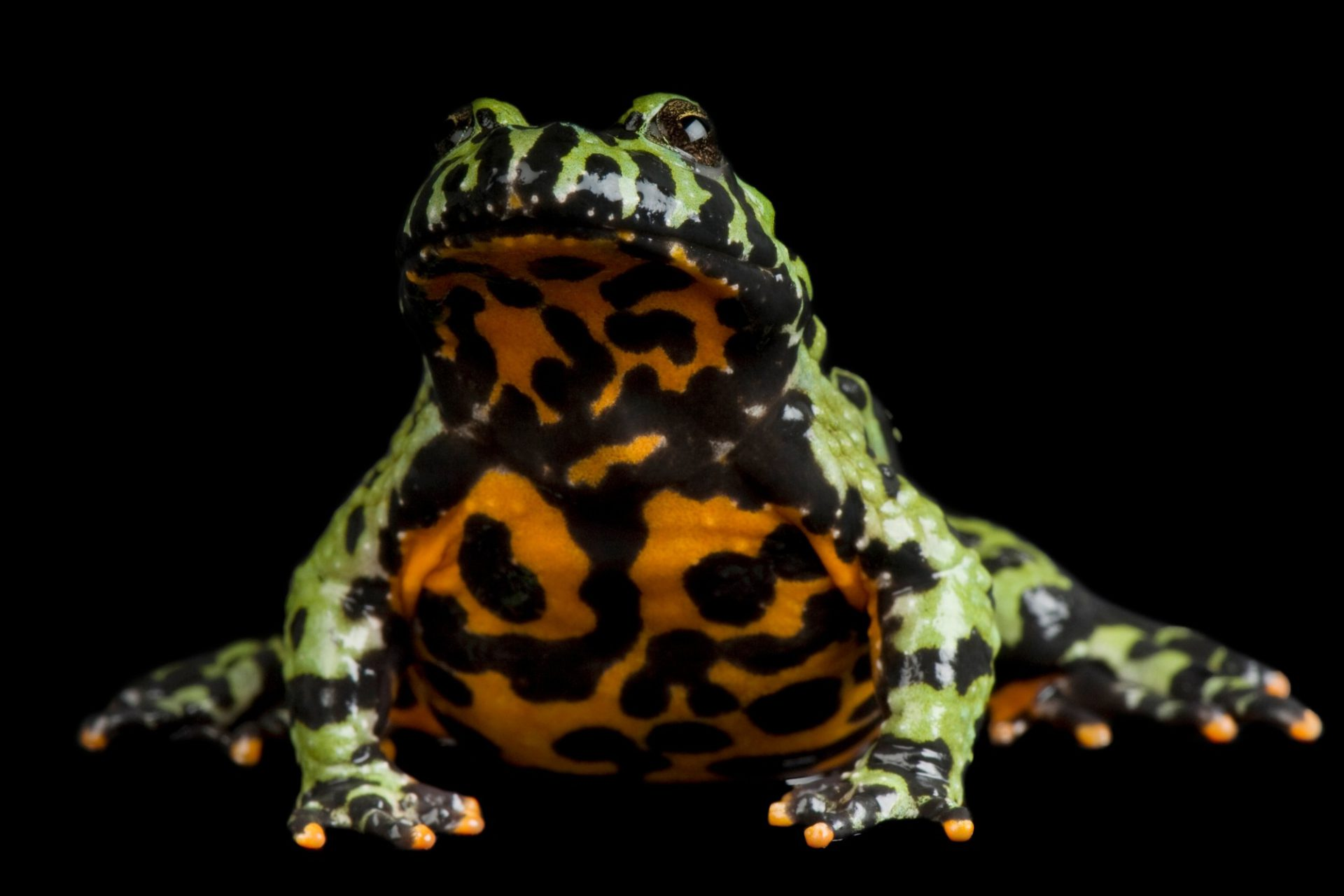 Photo: Oriental fire-bellied toad (Bombina orientalis) at the Denver Zoo.