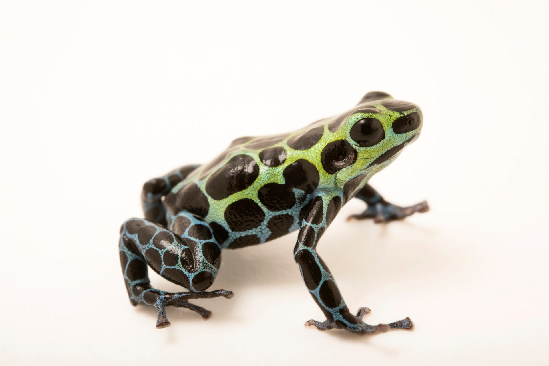 Photo: Splash-back poison frog (Ranitomeya variabilis) at the Houston Zoo.