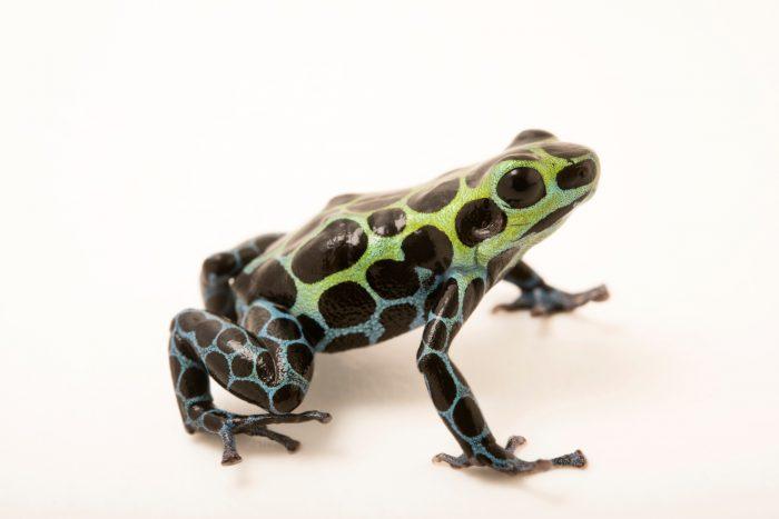 Photo: Splash-back poison frog (Ranitomeya variabilis) at the Houston Zoo.
