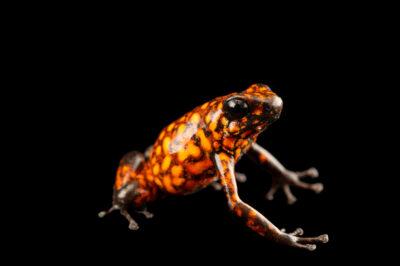 Photo: A diablo morph of the little devil poison dart frog (Oophaga sylvatica) at Centro Jambatu in Quito, Ecuador.