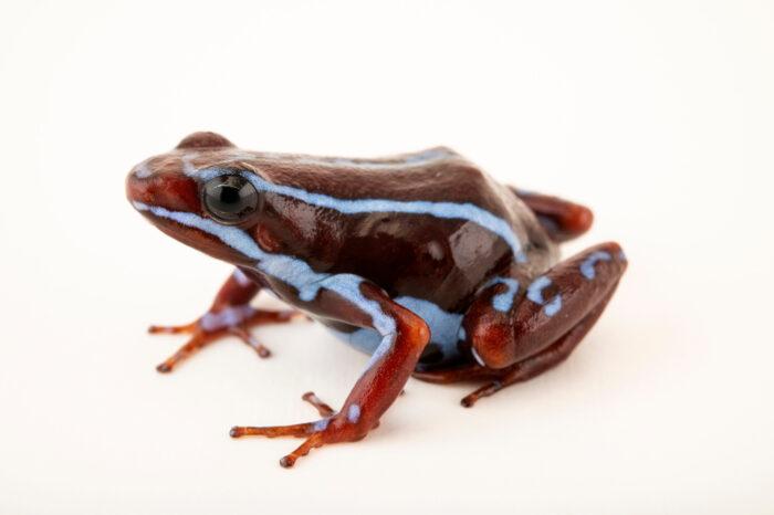 Photo: An ankas morph of the Epibatidin poison dart frog (Epipedobates anthonyi) at Centro Jambatu in Quito, Ecuador.